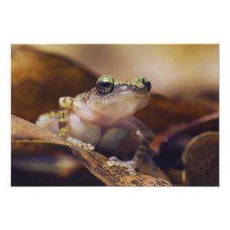 Cliff Chirping Frog, Eleutherodactylus Photo Print