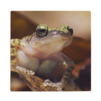 Cliff Chirping Frog, Eleutherodactylus Wooden Coaster