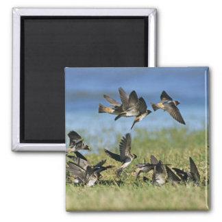 Cliff Swallow, Hirundo pyrrhoa, Mixed flock 2 Inch Square Magnet