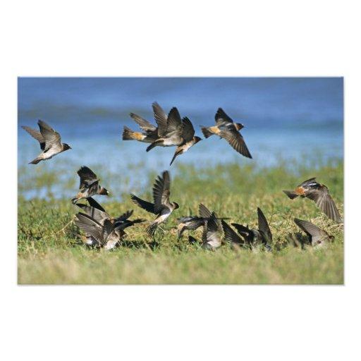 Cliff Swallow, Hirundo pyrrhoa, Mixed flock Photo Print