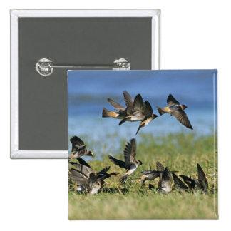 Cliff Swallow, Hirundo pyrrhoa, Mixed flock Pinback Button