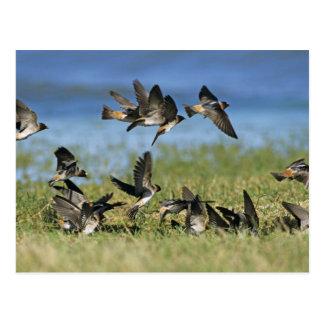 Cliff Swallow, Hirundo pyrrhoa, Mixed flock Postcard