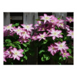 Climbing Clematis Spring Flowers Poster