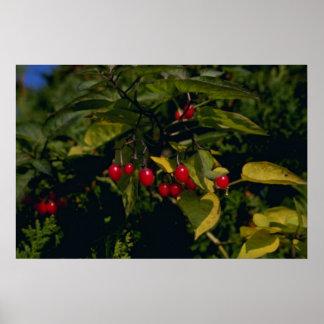 Climbing Nightshade (Solanum Dulcamara) flo Print