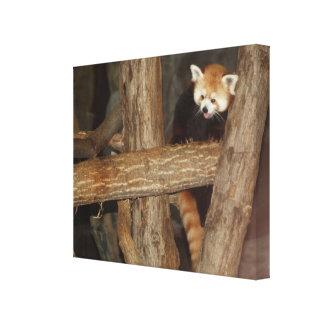 Climbing Panda  Wrapped Canvas Print
