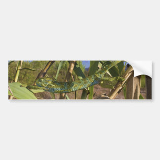 Climbing Stretching Female of Chamaeleo Africanus Bumper Sticker