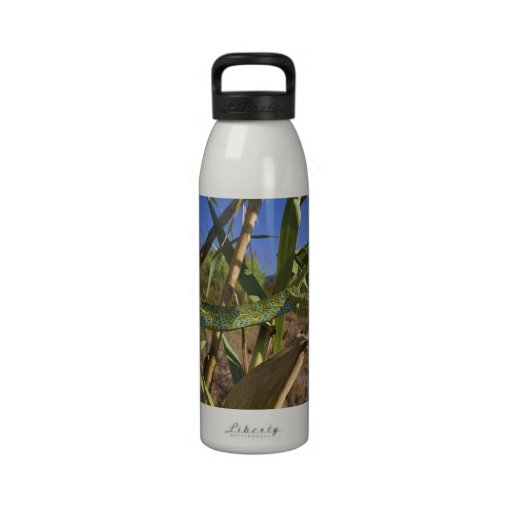 Climbing Stretching Female of Chamaeleo Africanus Water Bottles