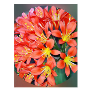 Clivia In Full Bloom Post Cards
