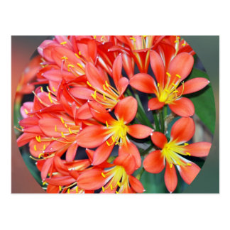 Clivia In Full Bloom Postcards
