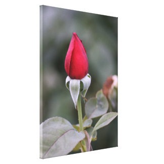 Close Red Rosebud Stretched Canvas Print
