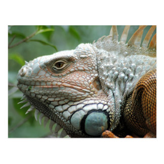 Close to the Iguana Postcard