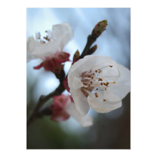 Close Up Apricot Blossom In Pastel Shades Custom Announcement