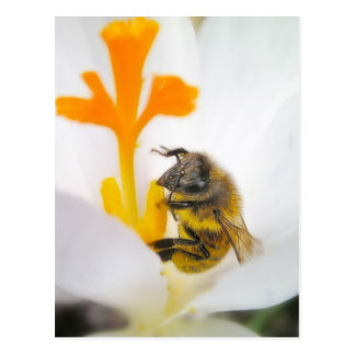 Close Up - Bee In A Crocus Blossom Postcard