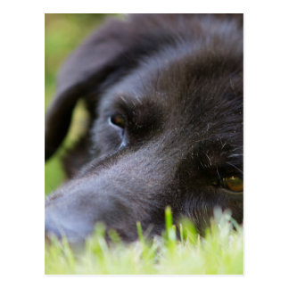Close Up Black old dogs face with selective focus Postcard
