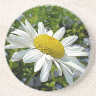 Close Up Common White Daisy With Garden Drink Coaster
