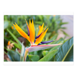 Close up Crane flower or Strelitzia reginaei Postcard