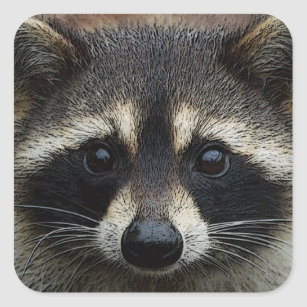 Close Up Cropped Face Raccoon Stare Square Sticker