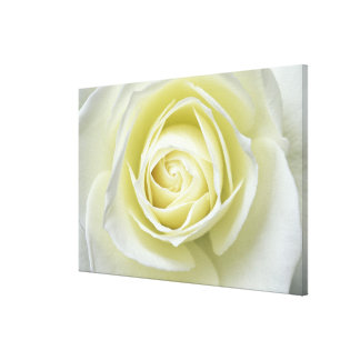 Close up details of white rose stretched canvas print