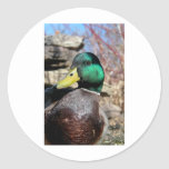 Close Up Duck Sticker