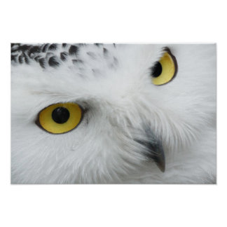 Close Up Eyes and Beak of a Beautiful Snowy Owl Poster
