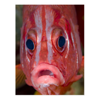Close-up frontal view of colorful squirrelfish post cards