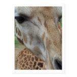 Close-Up Giraffe Postcard