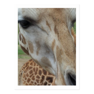 Close-Up Giraffe Postcard