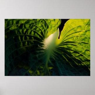 Close Up Green Hosta Leaf on Black Poster