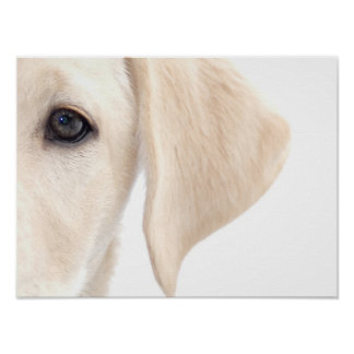 Close-up Half Face of Yellow Labrador Poster