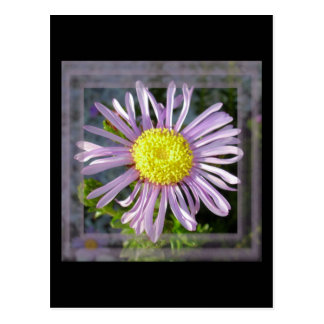 Close Up Lilac Aster With Bright Yellow Centre Postcard