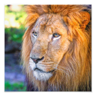 Close up Lion Photographic Print