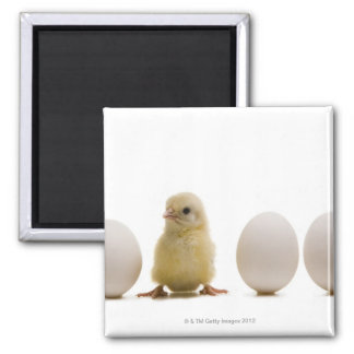 Close-up of a baby chick with three eggs 2 inch square magnet