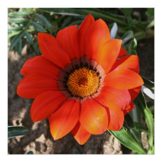 Close Up of a Beautiful Terracotta Gazania Flower Poster