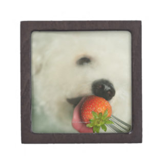 Close-up of a Bichon Frise eating a strawberry Gift Box