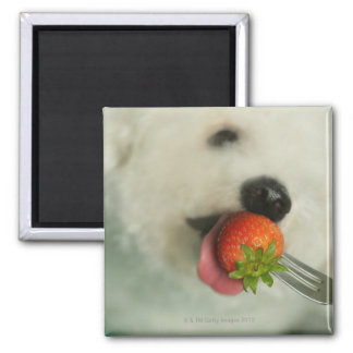 Close-up of a Bichon Frise eating a strawberry Magnet