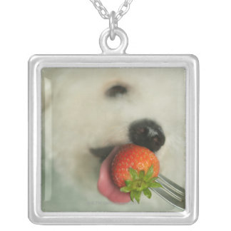 Close-up of a Bichon Frise eating a strawberry Silver Plated Necklace