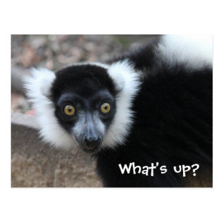 Close up of a Black and White Ruffed Lemur Post Cards