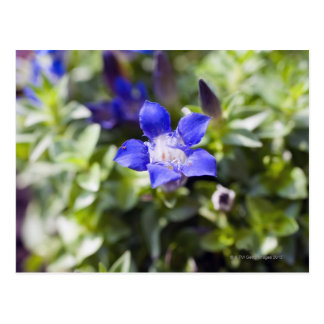 Close-up of a blue gentian flowerhead post cards