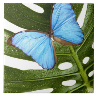 Close up of a Blue Morpho Butterfly on a palm Ceramic Tile