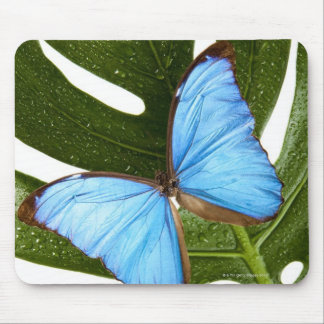Close up of a Blue Morpho Butterfly on a palm Mouse Pad