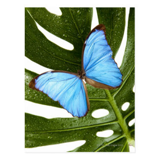 Close up of a Blue Morpho Butterfly on a palm Postcard