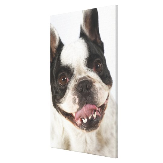 Close-up of a Boston Terrier sticking out its Canvas Print