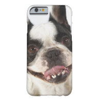 Close-up of a Boston Terrier sticking out its iPhone 6 Case