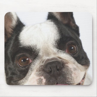 Close-up of a Boston Terrier sticking out its Mouse Pad