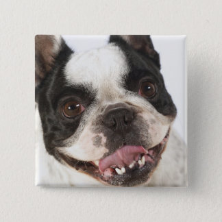 Close-up of a Boston Terrier sticking out its Pinback Button