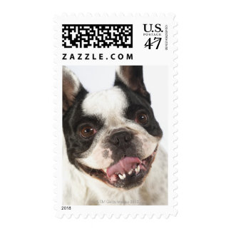 Close-up of a Boston Terrier sticking out its Postage