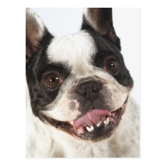 Close-up of a Boston Terrier sticking out its Postcard