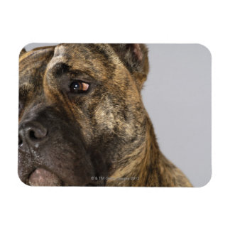 Close-up of a Boxer Magnet