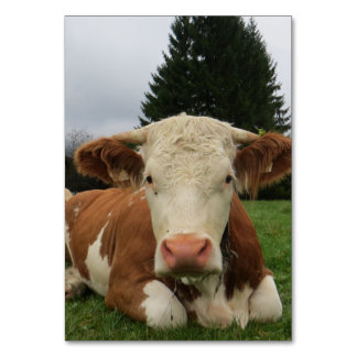 Close up of a brown and white cow laying down card