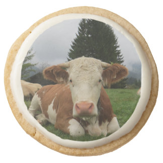 Close up of a brown and white cow laying down round premium shortbread cookie